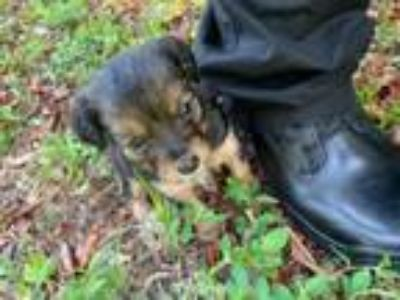 Adopt Terrier mix puppy a Terrier, Yorkshire Terrier