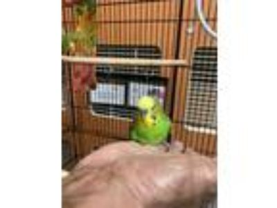Adopt Houdini a Green Budgie / Budgie / Mixed bird in Arlington, VA (25641716)