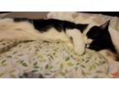 Adopt Blucifer a Black & White or Tuxedo Domestic Mediumhair / Mixed cat in Rose