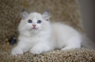 Male and Female Ragdoll Kittens