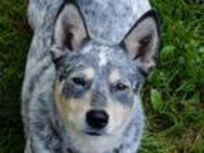 Adopt ACD Mya is Deaf a Australian Cattle Dog / Blue Heeler