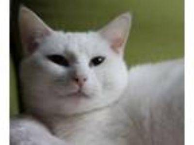 Adopt Sophie (deaf) and (declawed) a Domestic Short Hair