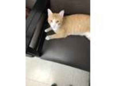 Adopt Tom a Orange or Red Tabby Domestic Shorthair (short coat) cat in