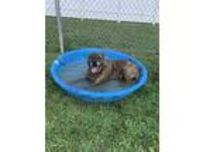 Adopt Gunner a Brindle Mixed Breed (Large) / Mixed dog in Fallston