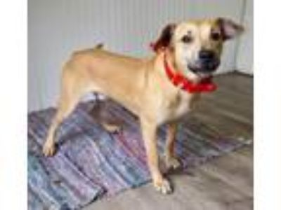 Adopt Puck a Labrador Retriever, Mixed Breed