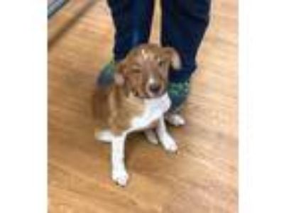 Adopt Lil Red a Red/Golden/Orange/Chestnut Pointer / Mixed dog in Oklahoma City