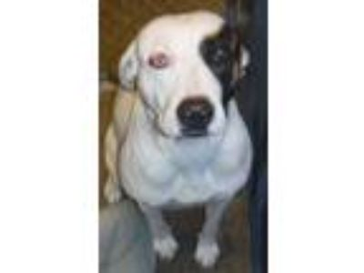 Adopt 336539 a Pit Bull Terrier