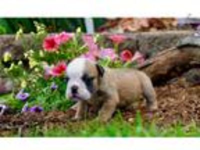 Akc Lexi Adorable English Bulldog Taking Deposit
