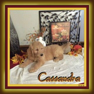Cassandra female Goldendoodle $475.00 New price and New Photos 11-12-18