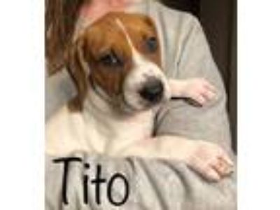 Adopt Tito a Hound (Unknown Type) / Mixed dog in Laingsburg, MI (25944018)