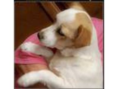 Adopt Olaf a White - with Tan, Yellow or Fawn English Toy Spaniel / Terrier