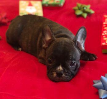French Bulldog PUPPY FOR SALE ADN-108348 - French Bulldog Puppy