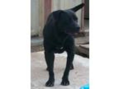 Adopt Angus a Labrador Retriever, Pit Bull Terrier