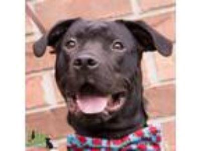 Adopt Ben a Labrador Retriever, Mixed Breed