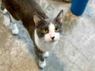 Adopt FRIBY a Gray or Blue (Mostly) Domestic Shorthair / Mixed (short coat) cat