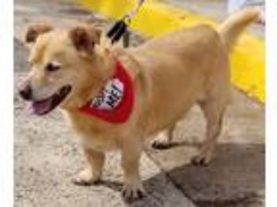 Adopt Cecil a Tan/Yellow/Fawn Corgi / Labrador Retriever / Mixed dog in