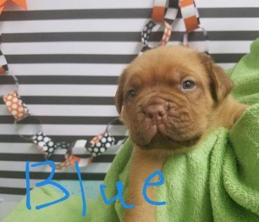 Dogue de Bordeaux PUPPY FOR SALE ADN-102812 - Dogue De Bordeaux puppies born October 4th