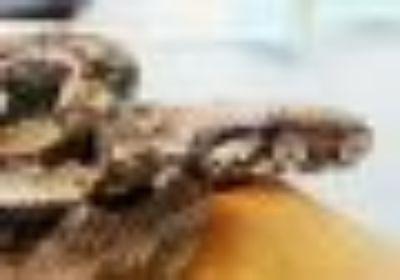 Zylinda Snake Scales, Fins & O