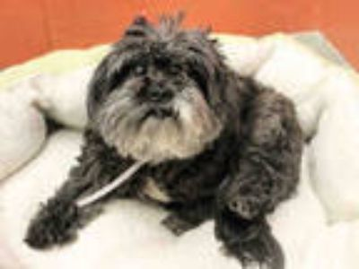 Adopt MAGGIE PIE a Gray/Silver/Salt & Pepper - with White Shih Tzu / Mixed dog
