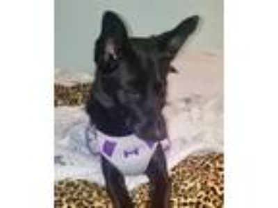 Adopt Ava a Black - with White Labrador Retriever / Mixed dog in Hockessin