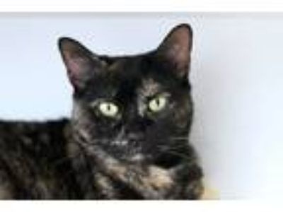 Adopt Macie a Domestic Short Hair