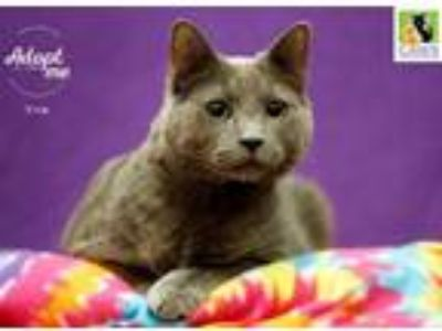 Adopt Trip a Gray or Blue Domestic Shorthair / Mixed cat in Salt Lake City