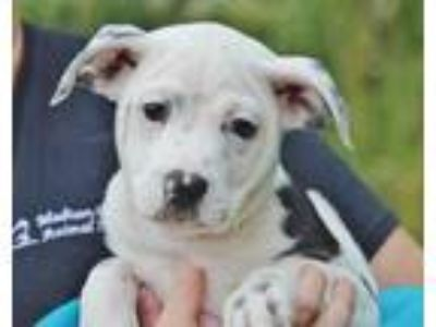 Adopt Hayley a White Terrier (Unknown Type, Small) / Mixed dog in Marshall
