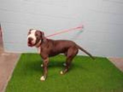 Adopt BIG GOOBER a Gray/Silver/Salt & Pepper - with White Great Dane / Mixed dog