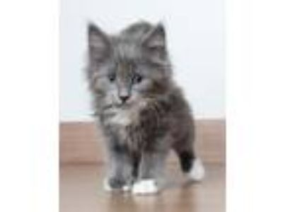Adopt Bacon C190143:PENDING ADOPTION a Domestic Long Hair