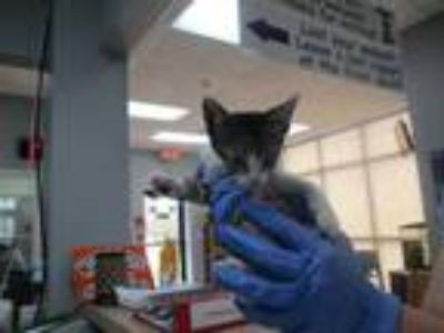 Adopt *OLIVIA a Brown Tabby Domestic Shorthair / Mixed (short coat) cat in