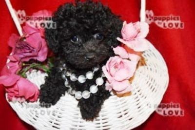 Poodle (Toy) PUPPY FOR SALE ADN-94530 - AKC TOY FULL REGISTRATION