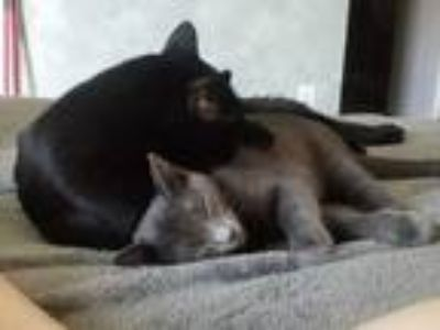 Adopt Tank a Gray or Blue American Shorthair cat in Wylie, TX (25739309)