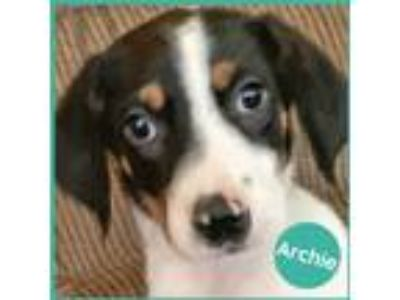 Adopt Archie a White - with Black Beagle / Labrador Retriever dog in Palatine