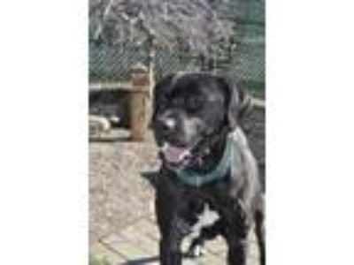Adopt Earl a Black - with White Labrador Retriever / Mixed dog in Woodburn