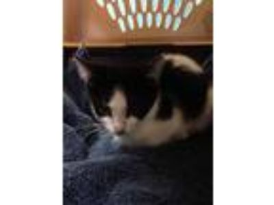 Adopt Putter a All Black Domestic Shorthair / Domestic Shorthair / Mixed cat in