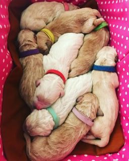 Goldendoodle PUPPY FOR SALE ADN-102534 - Gorgeous F1 English Cream Goldendoodle Puppies