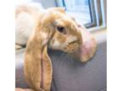 Adopt Starlight a Lop, English / Mixed rabbit in Golden, CO (25840075)