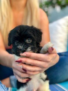 Havanese PUPPY FOR SALE ADN-74674 - Havanese puppy