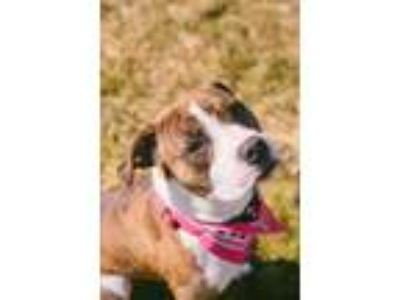 Adopt Bella a Brindle American Pit Bull Terrier / Mixed dog in Syracuse