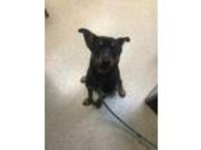 Adopt Eddie Munster a Black Mixed Breed (Large) / Mixed dog in Munster