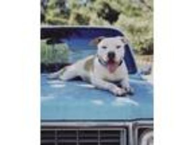 Adopt Clarence a Pit Bull Terrier