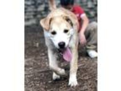 Adopt Hachi a Tan/Yellow/Fawn Golden Retriever / Mixed dog in Austin