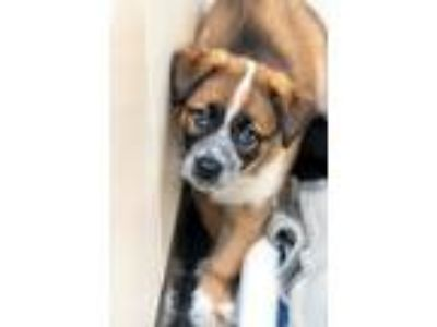 Adopt RUFFLES a Border Collie / Shepherd (Unknown Type) / Mixed dog in Redwood