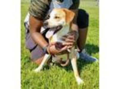 Adopt Pete a Beagle, Labrador Retriever