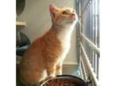 Adopt Lemony - PETSEN$E and FREE Gift Bag a American Shorthair