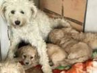 Adopt Mini a Poodle, Terrier