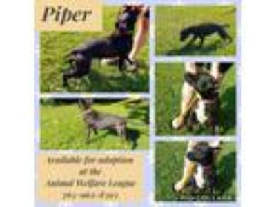Adopt Piper a Staffordshire Bull Terrier, Pit Bull Terrier