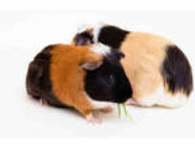 Adopt BELL a Black Guinea Pig / Mixed small animal in San Francisco