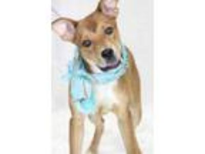 Adopt 41952157 a Brown/Chocolate American Pit Bull Terrier / Mixed dog in