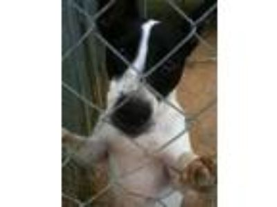 Adopt Percy a White - with Black Shepherd (Unknown Type) / Terrier (Unknown